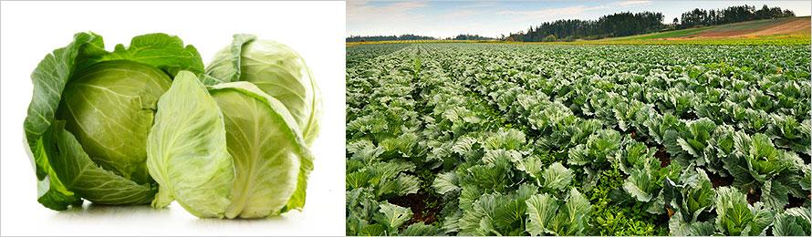 prodotti-agricoli-cavolo-cappuccio