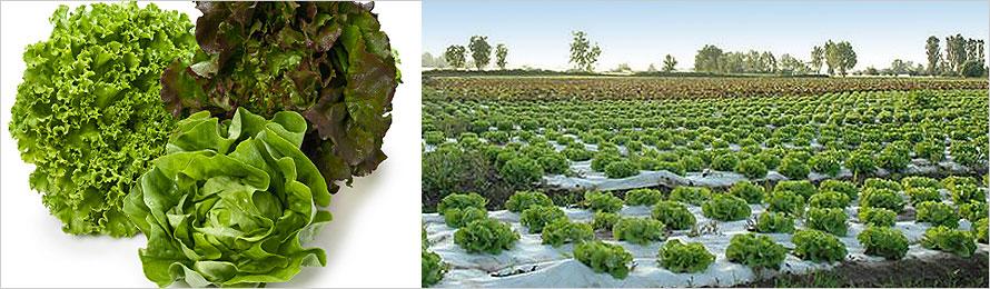 prodotti-agricoli-insalata