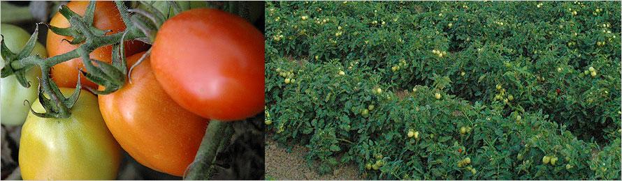 prodotti-agricoli-pomodoro