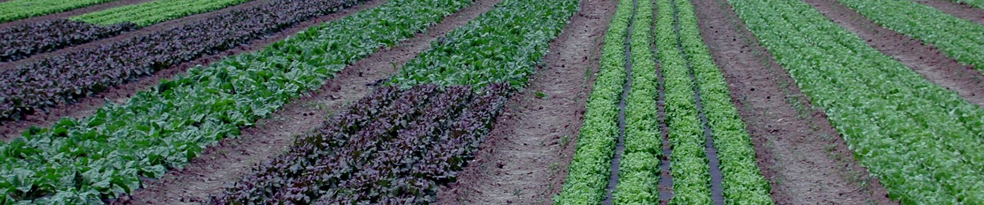 Campo-di-insalata-Multicolore